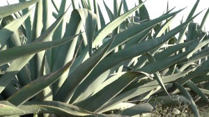 MAGUEY 5